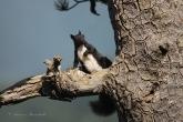 scoiattolo-meridionale